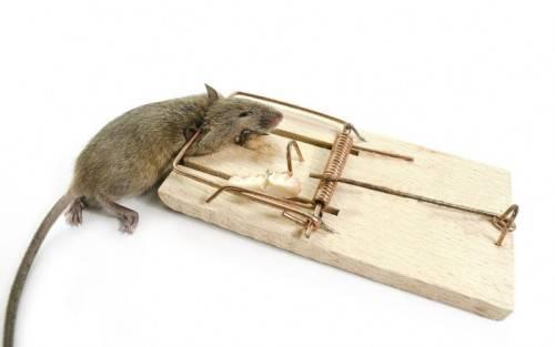 Как вывести мышей из дома быстро