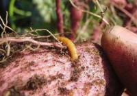 Чем обработать картофель перед посадкой от проволочника